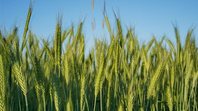 Fungicidas en Trigo. Cómo aplicarlos de la manera más eficiente para maximizar los rendimientos.