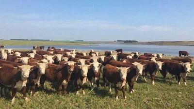 Una fuerte suba del ganado gordo en todas las categorías