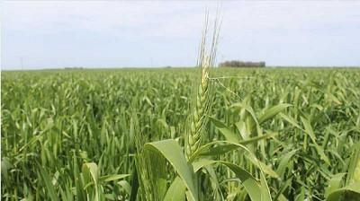Acopiadores volvió a recordarle al Gobierno que peligra la comercialización de trigo argentino por el HB4