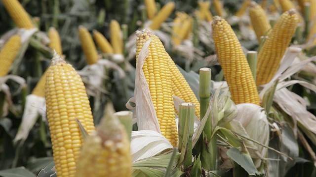 Resultado de imagen para Maiz de alta productividad