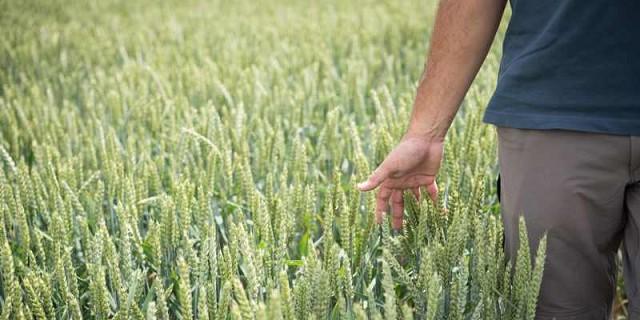 Resultado de imagen para FAUBA Investiga La Resistencia De La Mancha Amarilla En Trigo Con El Apoyo De BASF